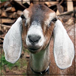 nubian goat face