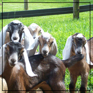 baby nubian goats